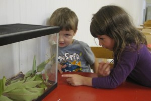 observing the caterpillars in the tank